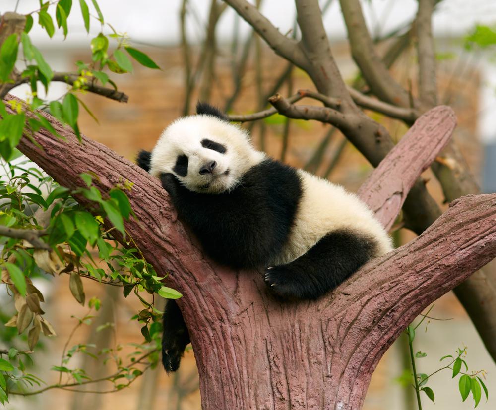 パンダ好きの心理を探る!可愛いと思う理由を調べてみよう